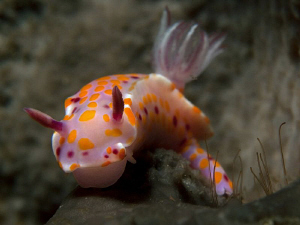 Ceratosoma amoena, Bare Island by Doug Anderson 